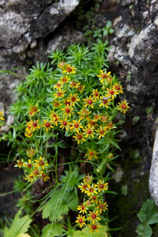 P_Craiului_020_Flori galbene 1