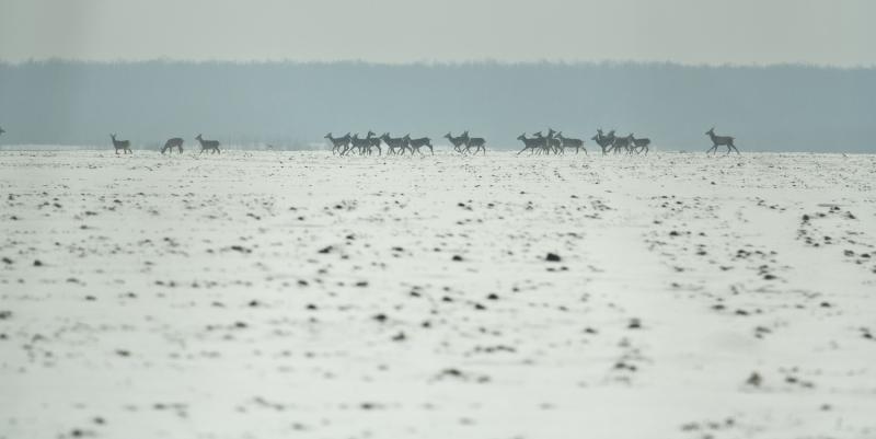 Cerbi_comana_001_ciute si cerbi in iarna departe 1