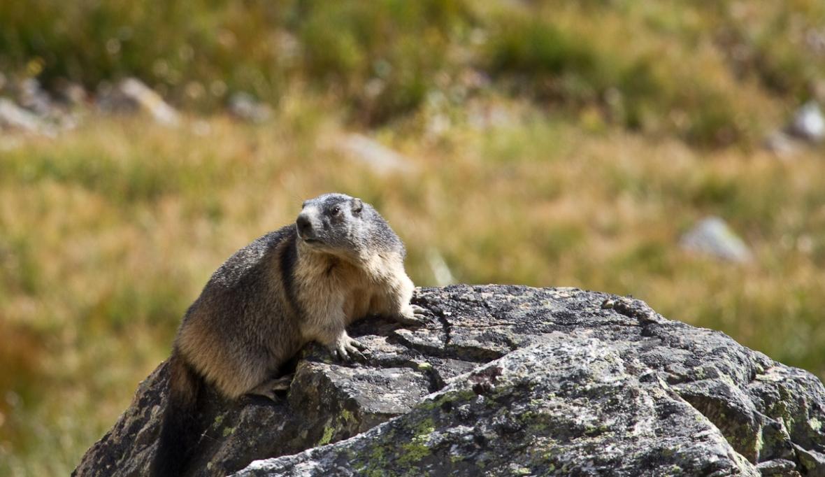 Gran_Paradiso_sep13_050_Marmota alpina 1