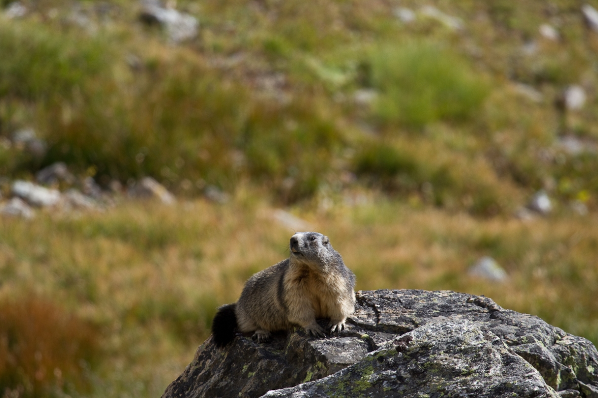 Gran_Paradiso_sep13_050_Marmota alpina 2