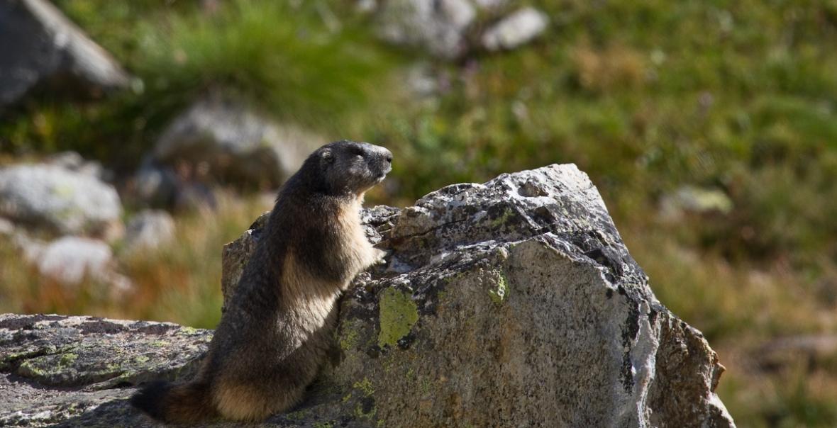 Gran_Paradiso_sep13_051_Marmota alpina 3