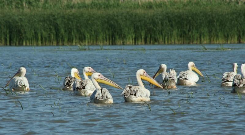 Meleaua Sf Gheorghe_0002_Pelicani plutind