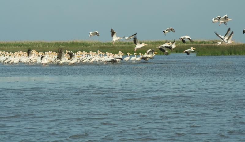 Meleaua Sf Gheorghe_0006_pelicani decoland 02