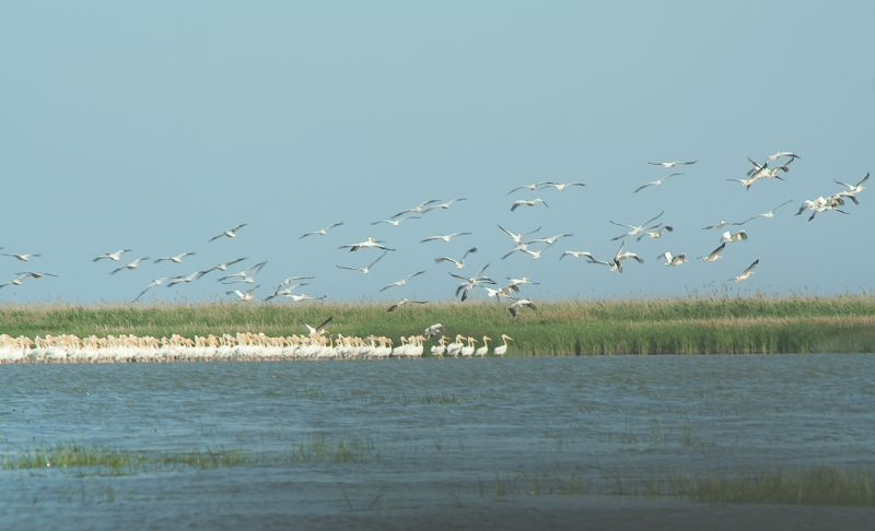 Meleaua Sf Gheorghe_0007_pelicani decoland