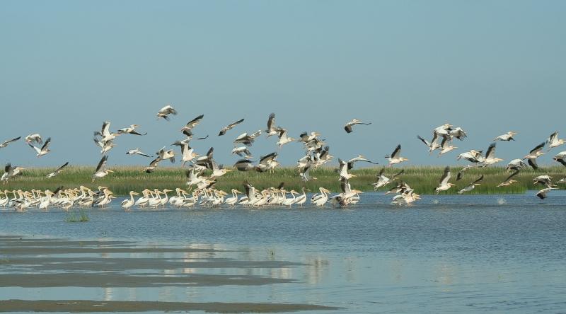 Meleaua Sf Gheorghe_0008_pelicani decoland 03