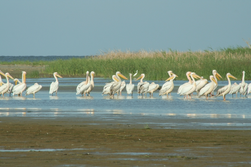 Meleaua Sf Gheorghe_0009_pelicani odihnindu-se