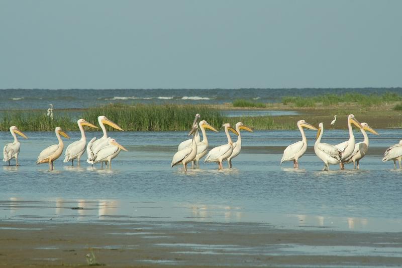 Meleaua Sf Gheorghe_0010_pelicanii cei mai curajosi raman ultimii 02