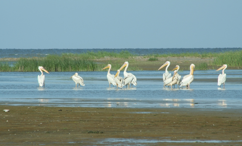 Meleaua Sf Gheorghe_0011_pelicanii cei mai curajosi raman ultimii