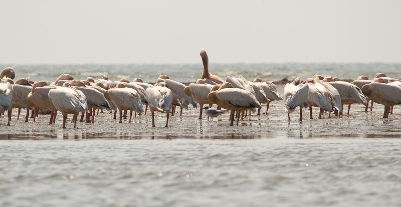 Meleaua Sf Gheorghe_0019_pelicanii dorm dar unul sta de paza