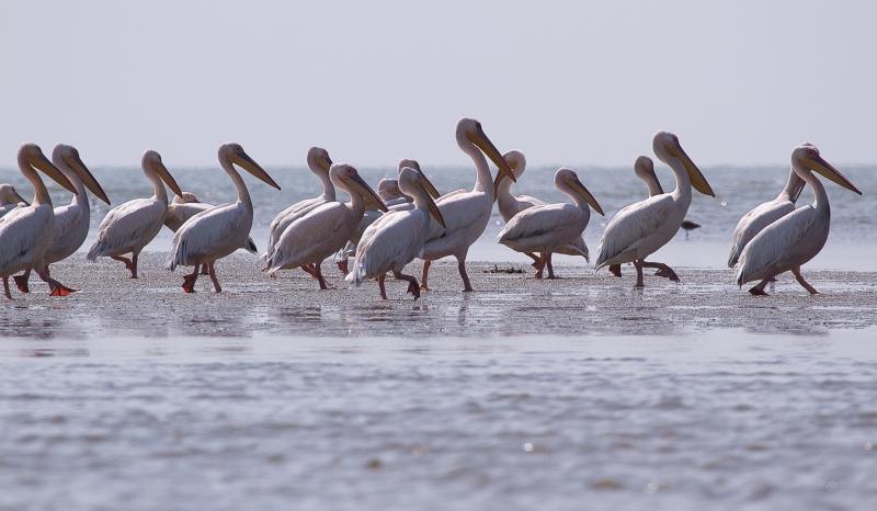 Meleaua Sf Gheorghe_0022_pelicanii pedestrii