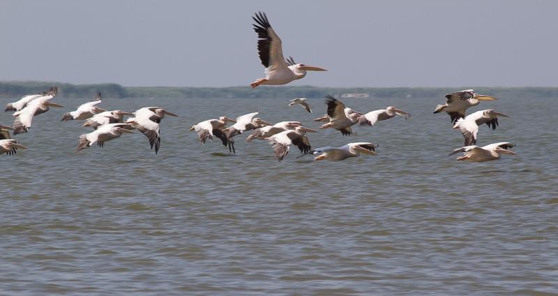 Meleaua Sf Gheorghe_0023_pelicanii intotdeauna fug